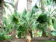 palmeira-das-bermudas