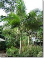 palmeira-alexandra