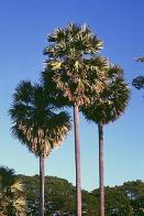 palmeira-de-palmira