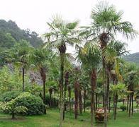palmeira-da-china