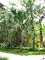 palmeira-de-leque