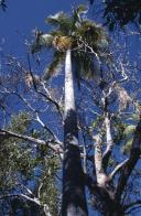 palmeira-magestosa