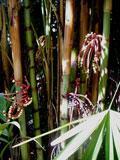 palmeira-bengala-de-marfim
