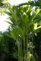 palmeira-fina