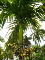 palmeira-betel