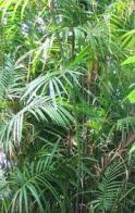 palmeira-ratam