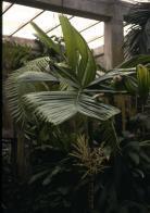 palmeira-sagrada