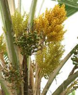 palmeira-leque-de-fiji