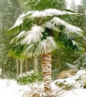 palmeira-moinho