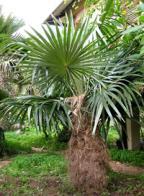 palmeira-do-homem-velho