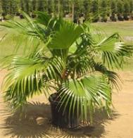 palmeira-leque-chinesa