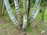 palmeira-de-locuba