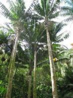 palmeira-de-fiji