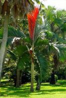 palmeira-de-folha-vermelha