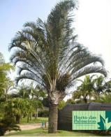 palmeira-triângulo