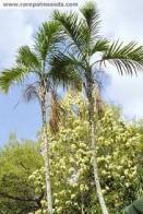 palmeira-gáussia