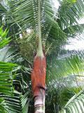 palmeira-de-pescoço-marrom