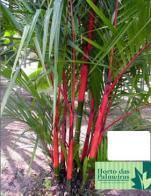 palmeira-laca