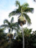 palmeira-de-nicobar