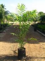 palmeira-cunha