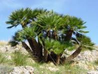 palmeira-do-mediterrâneo