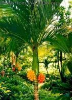 palmeira-ipote