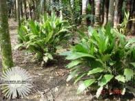 palmeirinha-seta