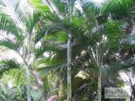 palmeira-sibara