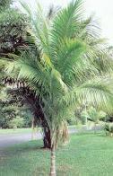 palmeira-brava