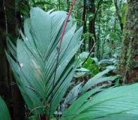 palmeira-capoca