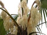 palmeira-palha-de-caimam