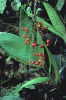 palmeira-mexicana