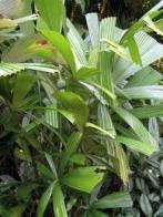 palmeira-licuala-estrela