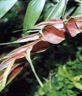 palmeira-giagiau