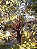 palmeira-de-prata-mexicana
