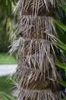 palmeira-de-zumbi