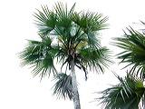 palmeira-de-prata-cubana