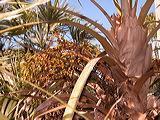 palmeira-de-prata