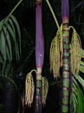 palmeira-de-palmito-preto