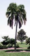 palmeira-das-rochas