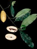 pepino-doce