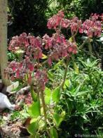 planta-do-jacaré