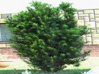 pinheiro-europeu
