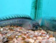 peixe-flor