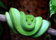 píton-verde-de-árvore