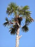 palmeira-miraguana