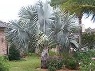 palmeira-azul