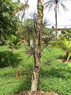 palmeira-maya
