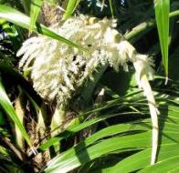 palmeira-leque-brilhante