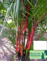 palmeira-batom